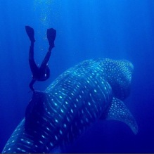 Maarten Schafer - Swimming with a whaleshark