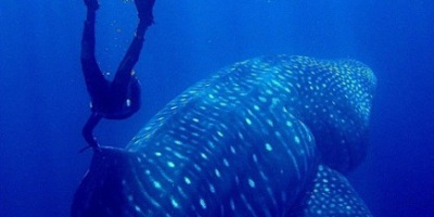 Maarten Schafer - Swimming with a whaleshark
