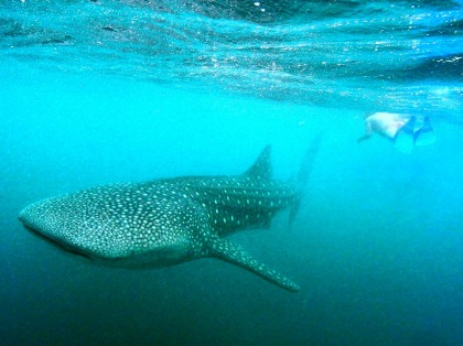 """Wow, we just swam with a whale shark in Djibouti. Have you ever done that? Do you have pics? Upload them to the online album!"""