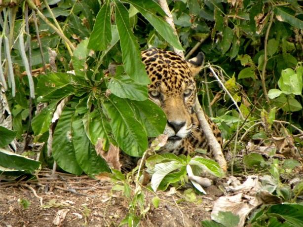 Close encounter with a jaguar