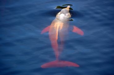 Swimming withpink dolphinsin the Amazon